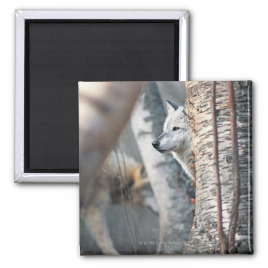 Gray Wolf Behind Tree Magnet
