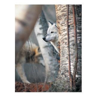 Gray Wolf Behind Tree Postcard