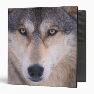 gray wolf, Canis lupus, close up of eyes in 3 Ring Binder