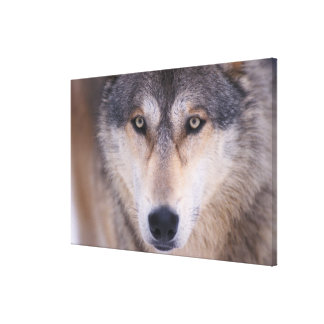 gray wolf Canis lupus close up of eyes in Gallery Wrapped Canvas