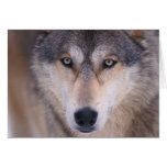 gray wolf, Canis lupus, close up of eyes in Card