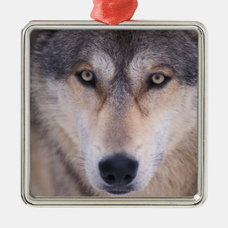 gray wolf, Canis lupus, close up of eyes in Metal Ornament