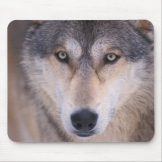 gray wolf, Canis lupus, close up of eyes in Mouse Pad