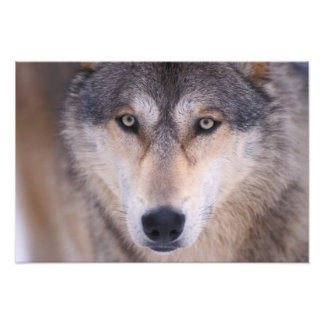 gray wolf, Canis lupus, close up of eyes in Photographic Print