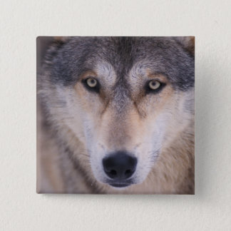 gray wolf, Canis lupus, close up of eyes in Pinback Button