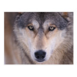gray wolf, Canis lupus, close up of eyes in Post Cards
