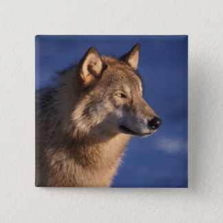 gray wolf, Canis lupus, in the foothills of 2 Button