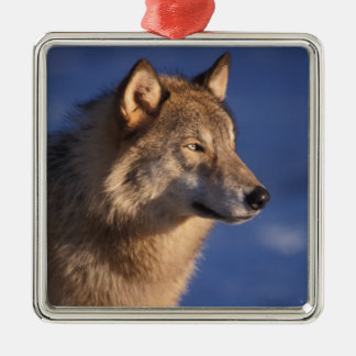 gray wolf, Canis lupus, in the foothills of 2 Metal Ornament