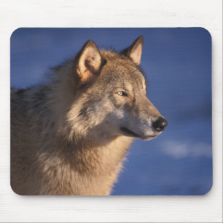 gray wolf, Canis lupus, in the foothills of 2 Mouse Pad
