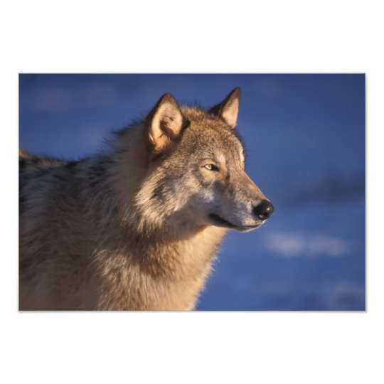 gray wolf, Canis lupus, in the foothills of 2 Photo Print