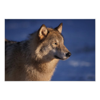 gray wolf, Canis lupus, in the foothills of 2 Poster
