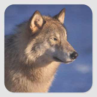 gray wolf, Canis lupus, in the foothills of 2 Square Sticker