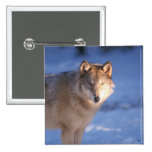gray wolf, Canis lupus, in the foothills of 2 Inch Square Button