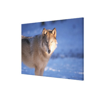 gray wolf, Canis lupus, in the foothills of Canvas Print