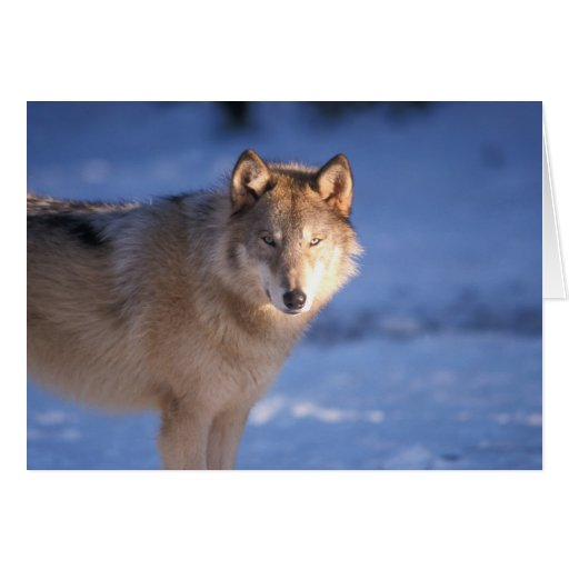 gray wolf, Canis lupus, in the foothills of Greeting Cards