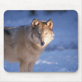 gray wolf, Canis lupus, in the foothills of Mouse Pad