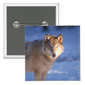 gray wolf, Canis lupus, in the foothills of Pinback Button
