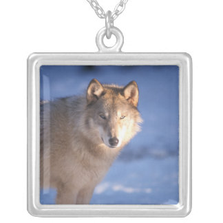 gray wolf, Canis lupus, in the foothills of Silver Plated Necklace