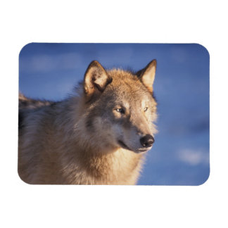 gray wolf, Canis lupus, in the foothills of the 2 Magnet