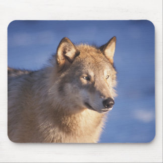 gray wolf, Canis lupus, in the foothills of the 2 Mouse Pad