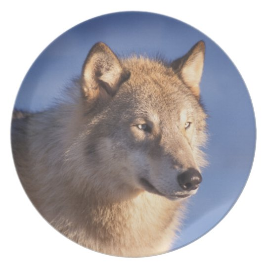 gray wolf, Canis lupus, in the foothills of the 2 Plate