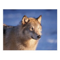 gray wolf, Canis lupus, in the foothills of the 2 Postcard