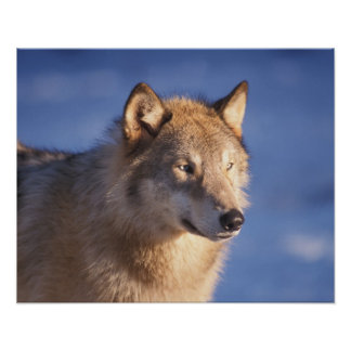 gray wolf, Canis lupus, in the foothills of the 2 Poster