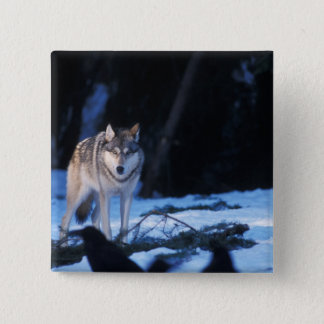 gray wolf, Canis lupus, in the foothills of the 3 Button