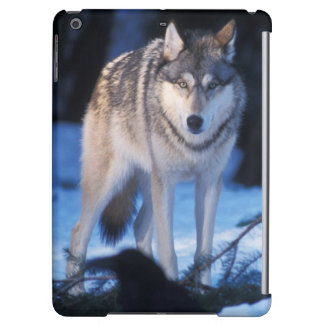 gray wolf, Canis lupus, in the foothills of the 3 Cover For iPad Air