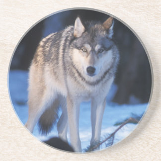 gray wolf, Canis lupus, in the foothills of the 3 Drink Coaster