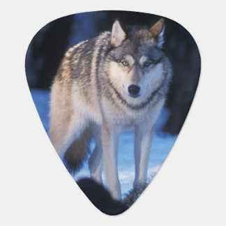 gray wolf, Canis lupus, in the foothills of the 3 Guitar Pick