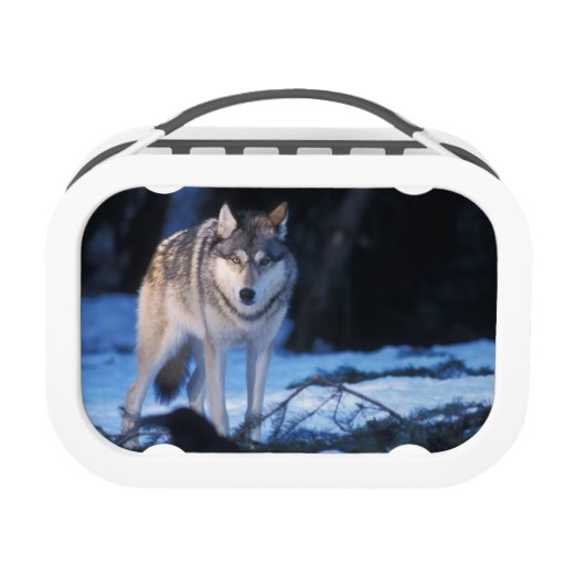 Gray Wolf Canis Lupus In The Foothills Of 3 Lunch