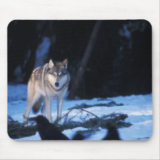 gray wolf, Canis lupus, in the foothills of the 3 Mouse Pad