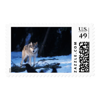 gray wolf, Canis lupus, in the foothills of the 3 Postage