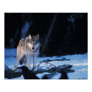 gray wolf, Canis lupus, in the foothills of the 3 Poster