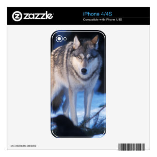 gray wolf, Canis lupus, in the foothills of the 3 Skin For The iPhone 4
