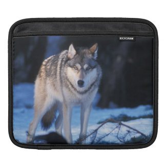 gray wolf, Canis lupus, in the foothills of the 3 Sleeve For iPads