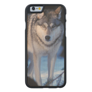 gray wolf, Canis lupus, in the foothills of the 3 Carved® Maple iPhone 6 Case
