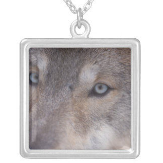gray wolf, Canis lupus, in the foothills of the Silver Plated Necklace