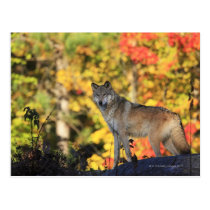 Gray Wolf Canis lupus.order: carnivorafamily Postcard