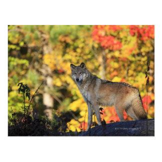 Gray Wolf Canis lupus.order: carnivorafamily Postcard
