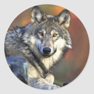 Gray wolf classic round sticker