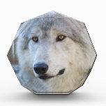 Gray Wolf Closeup Award