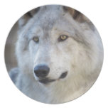 Gray Wolf Closeup Plate