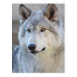 Gray Wolf Closeup Postcard