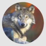 Gray Wolf, Endangered Species Digital Photography Classic Round Sticker