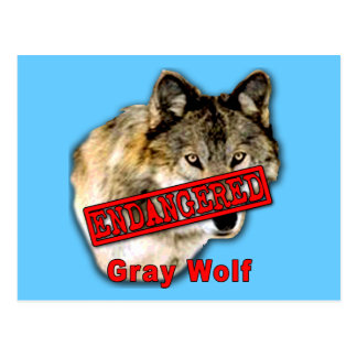 Gray Wolf Endangered Species Products Postcard