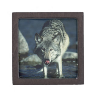 Gray wolf in Autumn drinking Gift Box