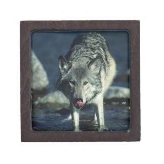Gray wolf in Autumn drinking Gift Box