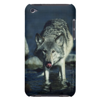 Gray wolf in Autumn drinking iPod Touch Case-Mate Case